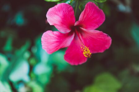 deep pink hibiscus flower shot at shallow depth of field with surrounded greenery