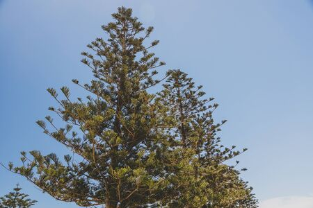 Norfolk Island pine trees shot in Western Australia in summer with blue sky and sunshine