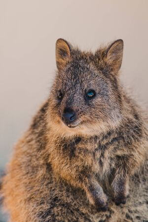 quokkas in Rottnest Island, the tiny cute animal is a marsupial native of Western Australia