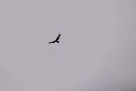 eagle flying free in the sky in Tasmania, Australia