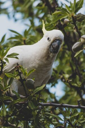 sulphur crested cockatoo on top of tree branches eating fruits shot in a backyard in Australia