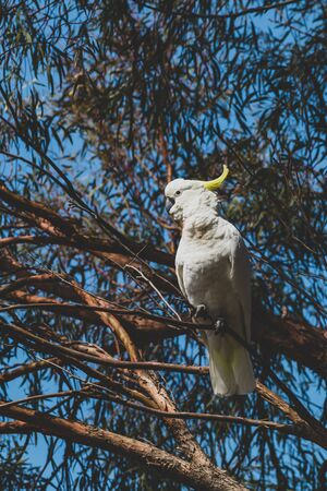 sulphur crested cockatoo on top of tree branches eating fruits shot in a backyard in Australia Stock Photo - 140019162
