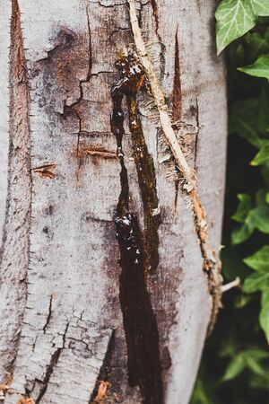 tree wax resin close-up shot with wattle tree trunk and ivy next to it shot at shallow depth of field Stock Photo