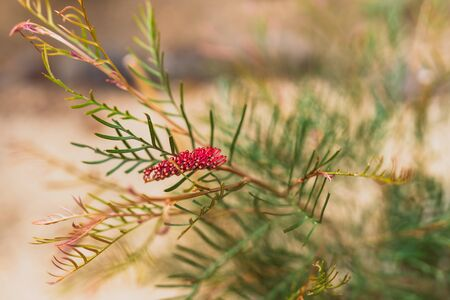 native Australian red hooks grevillea plant with red flowers shot at shallow depth of field
