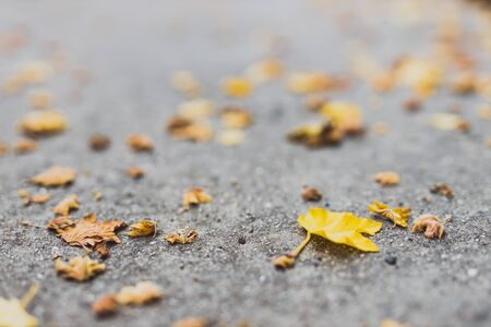 fallen leaves with yellow tones from a maple tree on concrete edited with contrasty tones Stock Photo