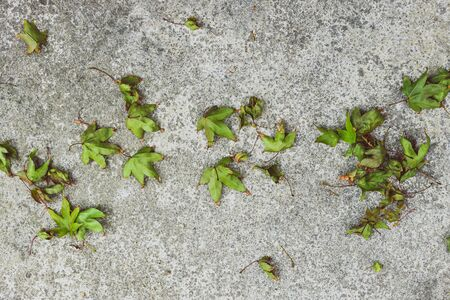fallen leaves from a maple tree with green tones on concrete edited with contrasty tones