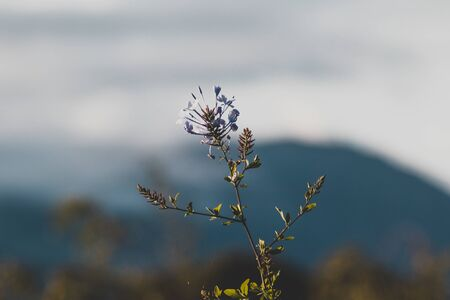 blue plumbago climber plant with mountain in the background shot at shallow depth of field under direct sunlight