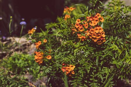 tacoma plant with plenty of orange flowers outdoor in sunny backyard shot at shallow depth of field