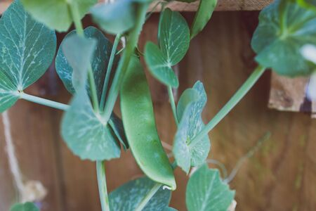 close-up of snowpea plant outdoor in sunny backyard shot at shallow depth of field Stock Photo - 148962003