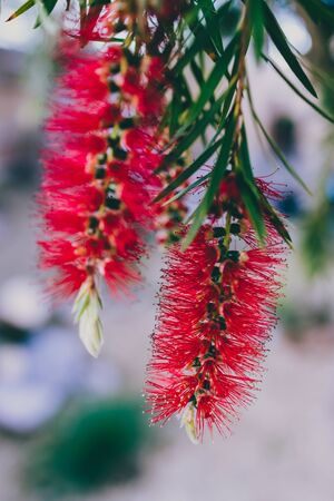 native Australian bottle brush callistemon plant with red flowers outdoor in sunny backyard shot at shallow depth of field Stock Photo - 148962223