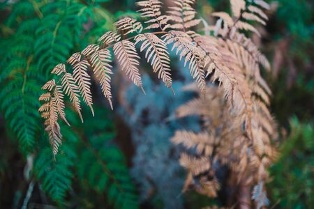 close-up of fern plant with golden and green branches shot at shallow depth of field Stock Photo - 148961978