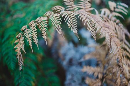 close-up of fern plant with golden and green branches shot at shallow depth of field Stock Photo - 148962392