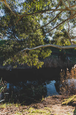 native Australian gum tree with sun shinging through and small river with ducks next to it shot in Richmond in Tasmania