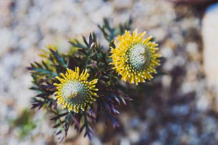 close-up of native Australian yellow isopogon sunshine plant outdoor in sunny backyard shot at shallow depth of field