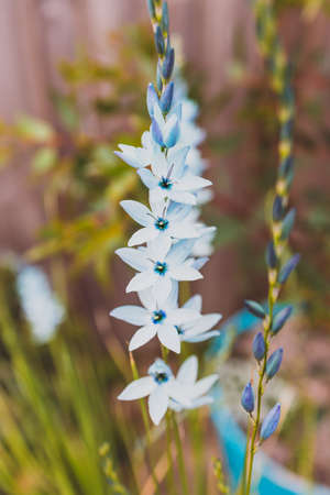 close-up of Ixia African corn lillies plant with blue flowers outdoor in sunny backyard shot at shallow depth of field