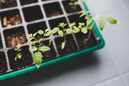 tomato seedlings growing in small greenhuose tray shot at shallow depth of field