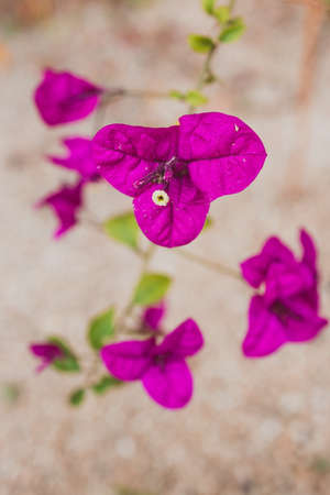 close-up of purple bougainvillea plant outdoor in sunny backyard shot at shallow depth of field Stock Photo