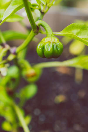 close-up of capsicum plant outdoor in sunny vegetable garden shot at shallow depth of field