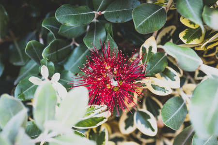 native new zealander metrosideros thomasii Christmas bush plant outdoor in sunny backyard shot at shallow depth of field Stock Photo