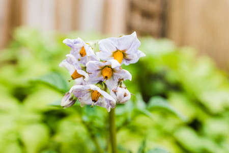 close-up of potato plant flowers outdoor in sunny backyard shot at shallow depth of field