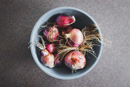 simple food ingredients concept, fresh red spanish onions just harvested from veggie patch with roots and dirt still on them