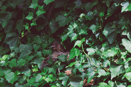 baby bird sleeping in his nest surrounded by ivy climbers shot with telephoto lens