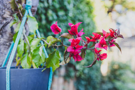 close-up of red bougainvillea in hanging pot on tree branch with backyard bokeh shot at shallow depth of field