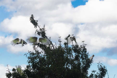 flock of sulphur crested cockatoos over fruit tree about to fly away shot in Tasmania, Australia
