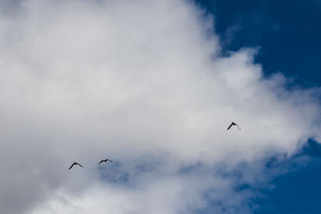 black cocktatoos flying in the sky in Tasmania, Australia with partially blue partially cloudy weather Stock Photo