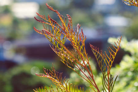 native Australian red hooks grevillea plant outdoor in sunny backyard shot at shallow depth of field Stock Photo