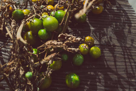 simple food ingredients concept, small unripe tomatoes on dry branches on wooden table