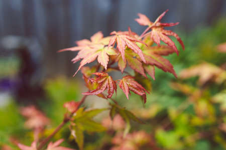close-up of red Japanese maple plant outdoor in sunny backyard shot at shallow depth of field