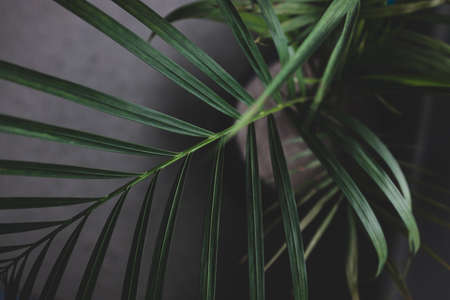 close-up of palm leaves from a plants in pots indoor by the window shot at shallow depth of field with moody contrasty tones