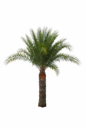 Date palm tree isolated on white background.