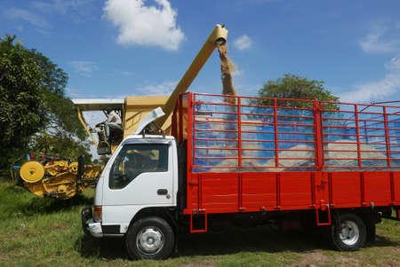 A farmer feeding rice grain from a paddy machine to truck. 版權商用圖片