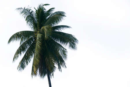 Top of coconut tree isolated on white background.