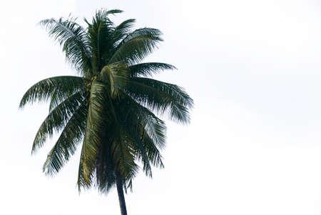 Haut de cocotier isolé sur fond blanc.