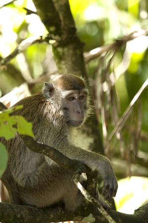 Male Monkey