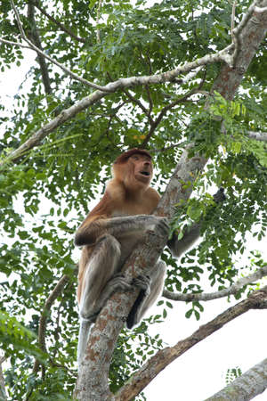 Proboscis monkey climbing tree