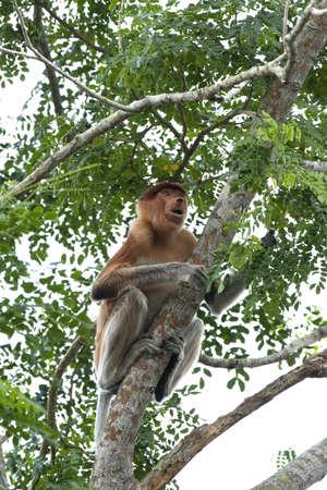 Proboscis monkey climbing tree