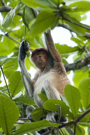 Proboscis monkey eating leafs
