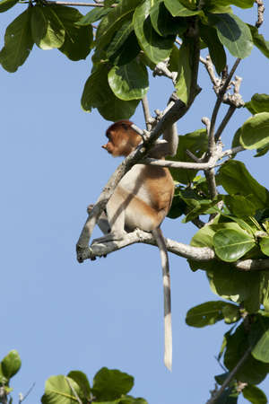Proboscis monkey at the tree Stock Photo