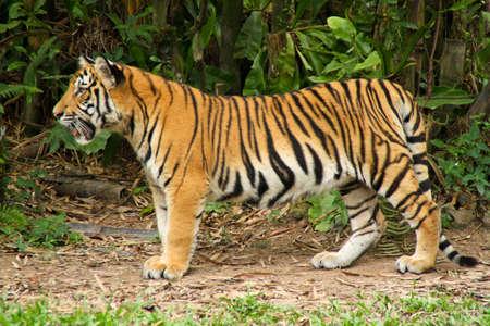 sumatran tiger: The Malayan Tiger