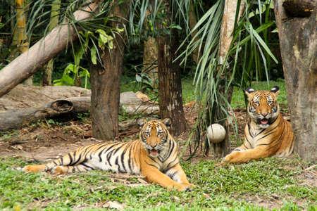The Malayan Tiger Stock Photo - 8668833