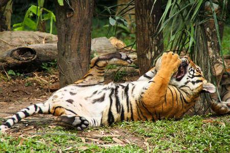 The Malayan Tiger Stock Photo - 8668827