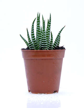 Potted cactus isolated over white background