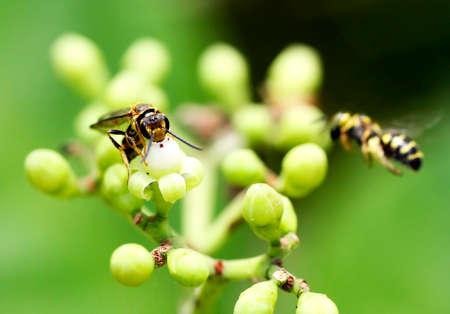 mottling: Tiger Wasp Stock Photo