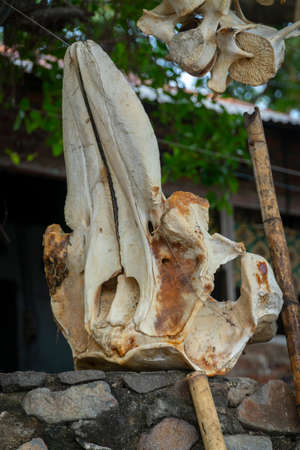 Skeleton from sperm whale at Lamalera, Nusa Tenggara, Indonesia. Lamalera is home of the Traditional Whale Hunting people