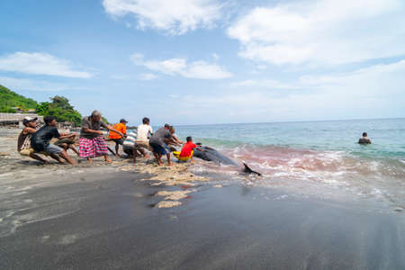 LAMALERA, NUSA TENGGARA, INDONESIA - DEC 13, 2018: The local villager are pulling pilot whale from the shore. Lamalera is a home of the Traditional Whale Hunting people