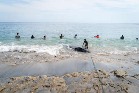 LAMALERA, NUSA TENGGARA, INDONESIA - DEC 13, 2018: Little kids playing with the captured pilot whale near the shore while others are fishing at Lamalera Indonesia